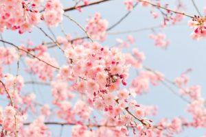 cherry,tree