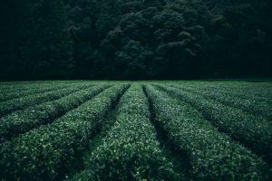 plantation,photo