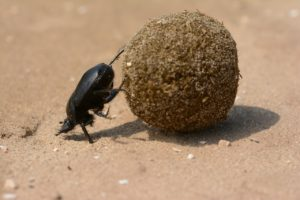 scarab,photo